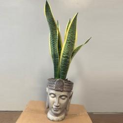 Cabeza de Buda con Sansevieria