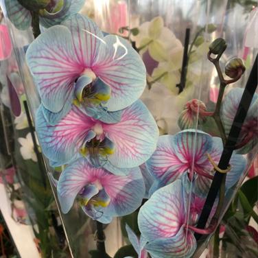 Orquidea azul y rosa
