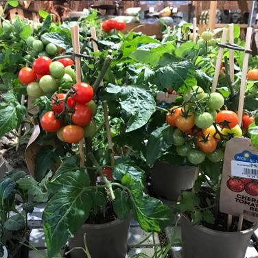 Tomates cherrie para huerto